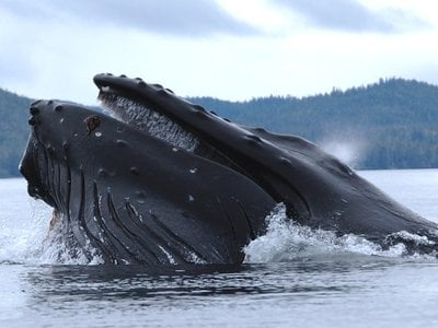 Sometime between 30-40 seconds after the diver was swallowed, the whale began to move its head from side to side and then resurfaced.