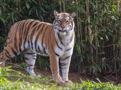 Tigers are the largest cat species in the world. Amur tigers (sometimes called Siberian tigers) are the biggest tigers, with males weighing up to 660 pounds and measuring up to 10 feet long from nose to tip of the tail.