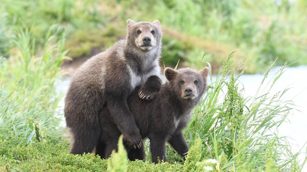 Bear cubs in Lake Kuril thumbnail