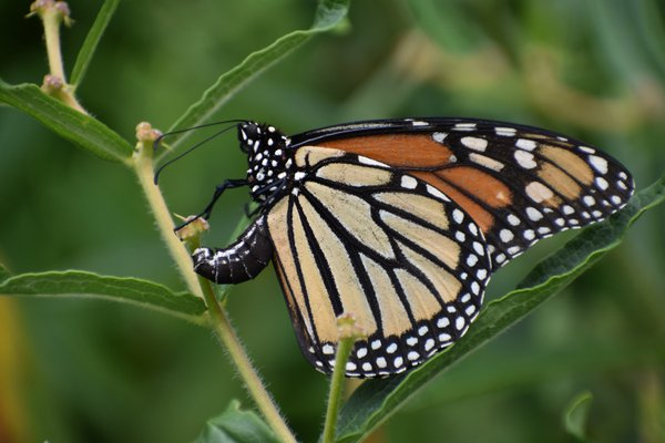 Monarch Laying Eggs thumbnail