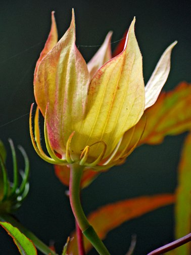 Hibiscus pod thumbnail