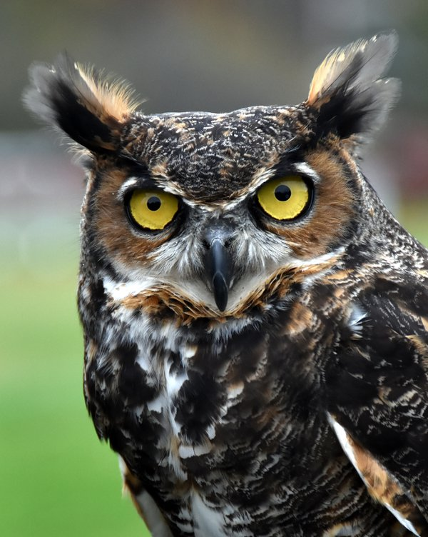 Magnificent Great Horned Owl thumbnail