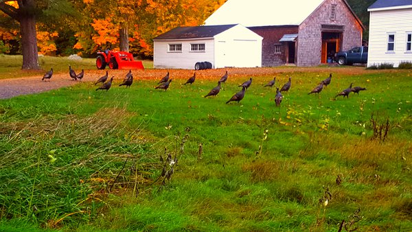 A gaggle of gobblers... thumbnail