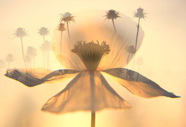 White poppy at sunset thumbnail