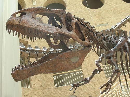 20110520083321Giganotosaurus-skeleton.jpg