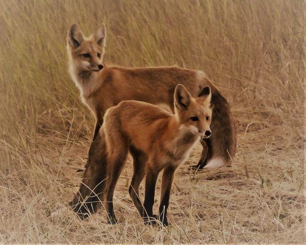 2 foxes thumbnail