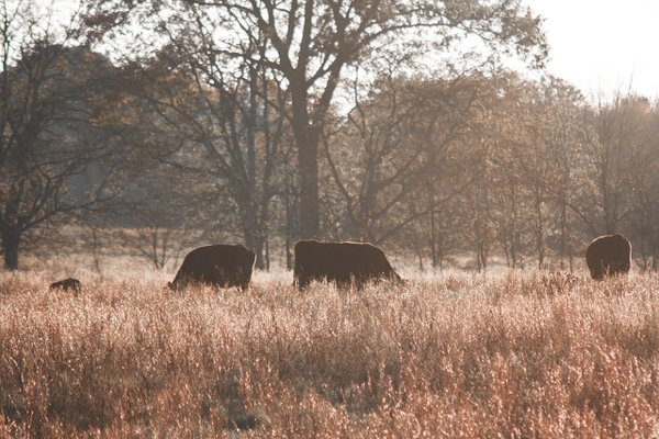 Cows in the field at sunset thumbnail