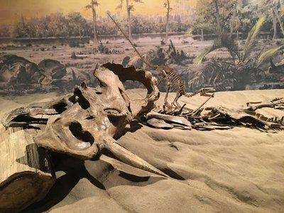 A Centrosaurus skeleton in the mass dearth assemblage at the Royal Tyrrell Museum