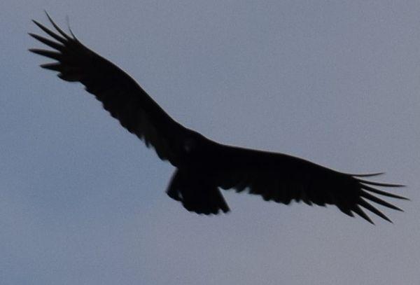 A flying American black vulture. thumbnail