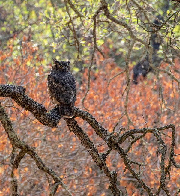 Great-horned Owl (Bubo virginianus) in Little Pine Creek thumbnail