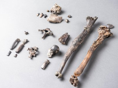 The 21 bones of the most complete partial skeleton of a male Danuvius guggenmosi.