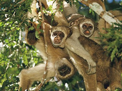 Unlike the chest-beating primates of popular imagination, Brazil's northern muriquis are easygoing and highly cooperative.
