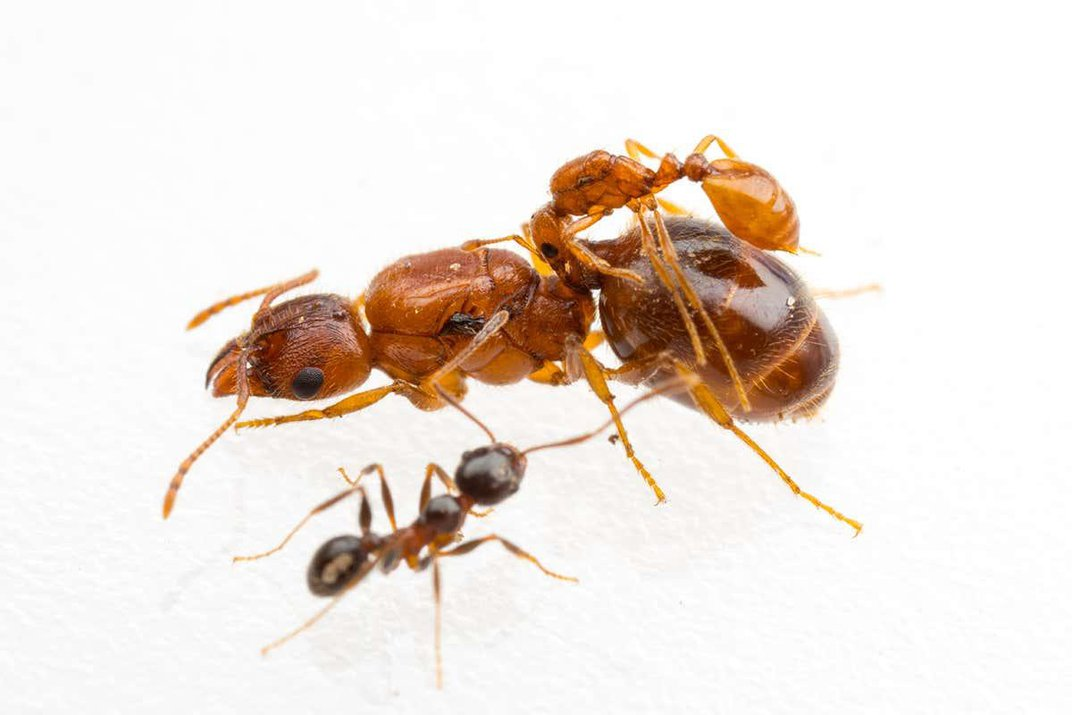 Texan 'Rodeo Ants' Ride on the Backs of Bigger Ants
