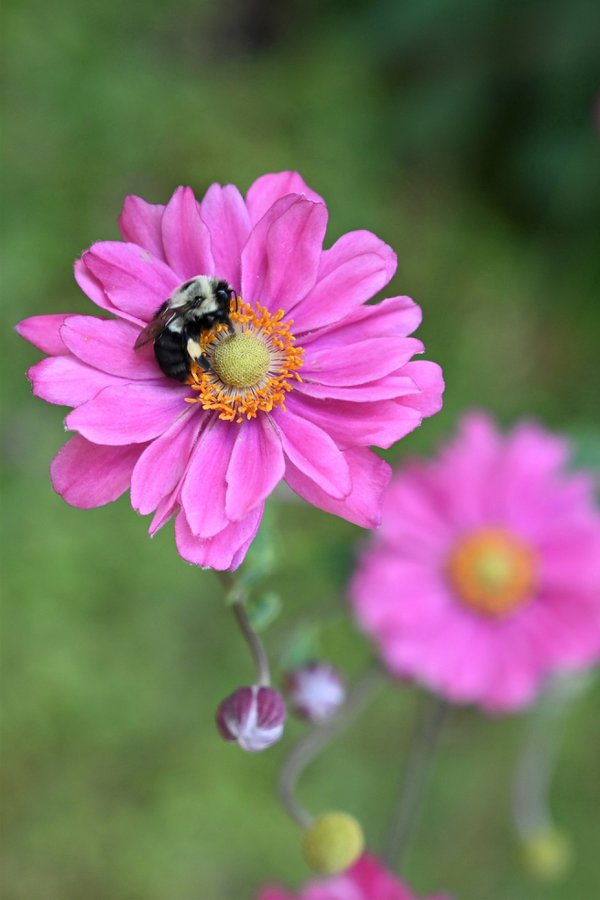 Bumble bee on pink flower. thumbnail