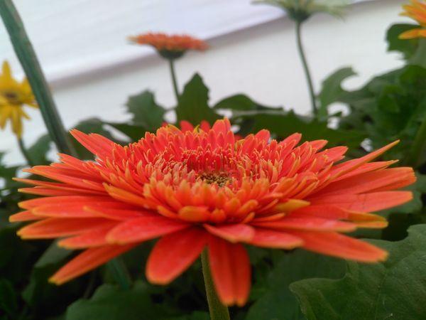 Orange Daisy thumbnail