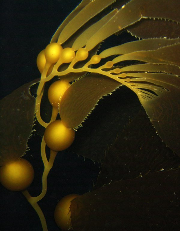 Kelp Pearls-The kelp showed a special type of pearl-like luster from a certain angle. thumbnail