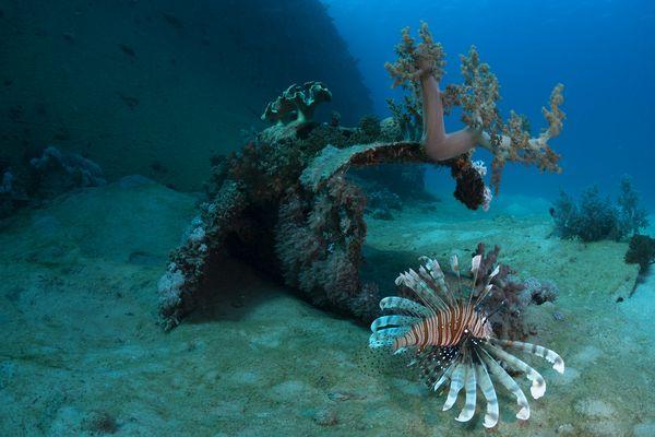 Lion Fish on Hamada Wreck. thumbnail