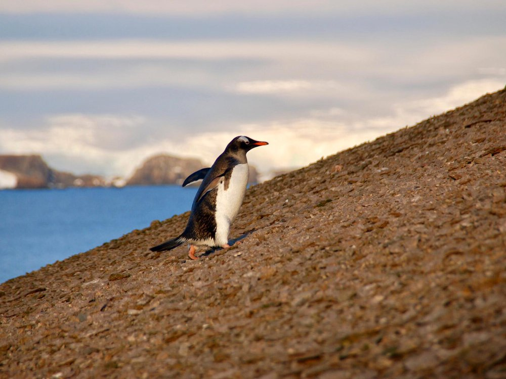 Gentoo trying to fly
