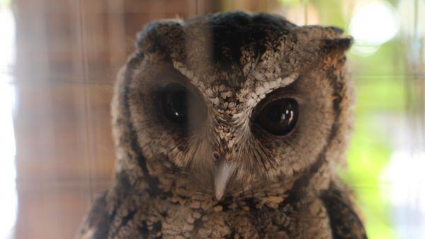 A little owl thumbnail