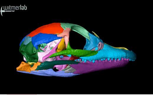 20110520083319witmer-lab-3d-alligator.jpg