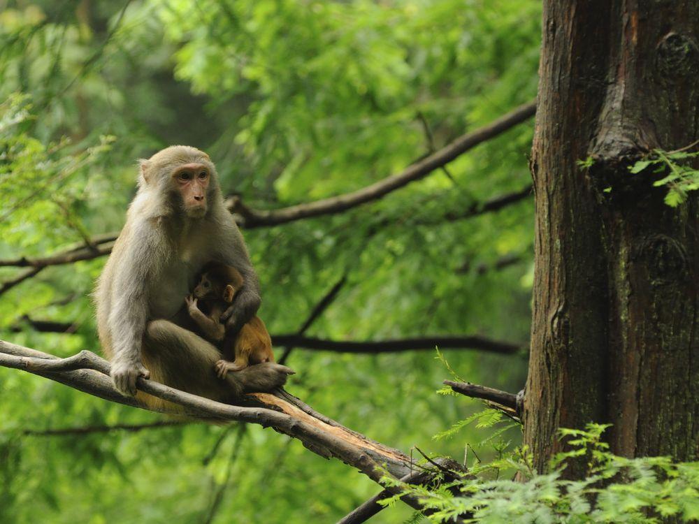 08_29_2014_rhesus macaques.jpg