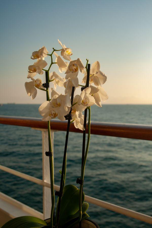 White Orchids on Balcony at Sunrise thumbnail