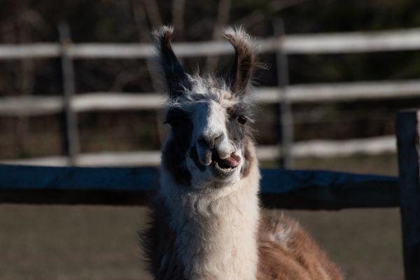 Llama Portrait 2 thumbnail
