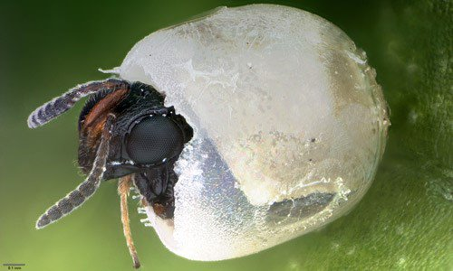 Wasp head breaking out of an egg.