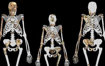 Skeletons of Australopithecus sediba (left and right) compared to Lucy (center), or Australopithecus afarensis