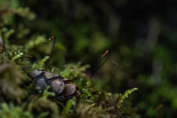 Poor Pocket Moss - An Accidental Find thumbnail