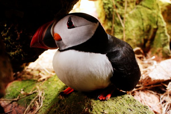 Puffin Poses in Rock Nest thumbnail