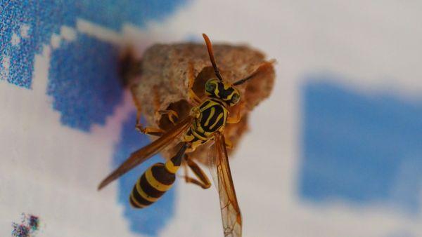 Gregarious Paper Wasp thumbnail