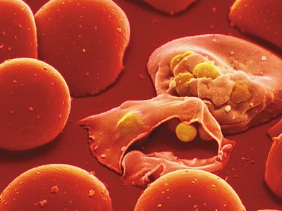 Malaria parasites infect two blood cells.