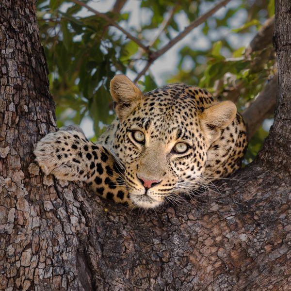 A Botswana Beauty thumbnail