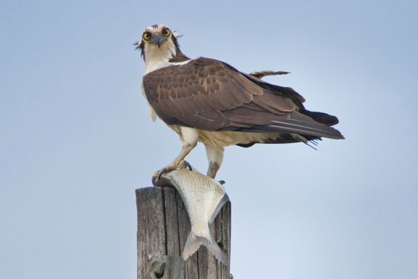 Osprey With Catch thumbnail