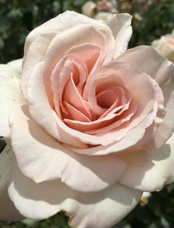 Pink Rose at the San Jose Municipal Rose Garden thumbnail