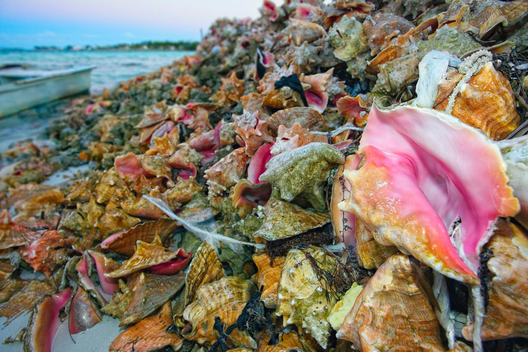 The Bahamas' Conchs Have Undergone 'Serial Depletion'