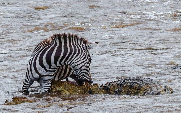 Zebra biting back a crocodile thumbnail