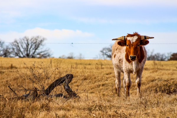 A roping steer grazing in the pasture. thumbnail