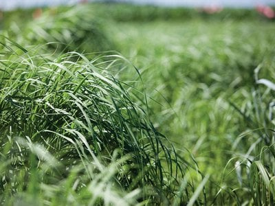 It seems that it's only a matter of time before we have the technology for switchgrass, shown here, to replace corn as a feedstock for ethanol.
