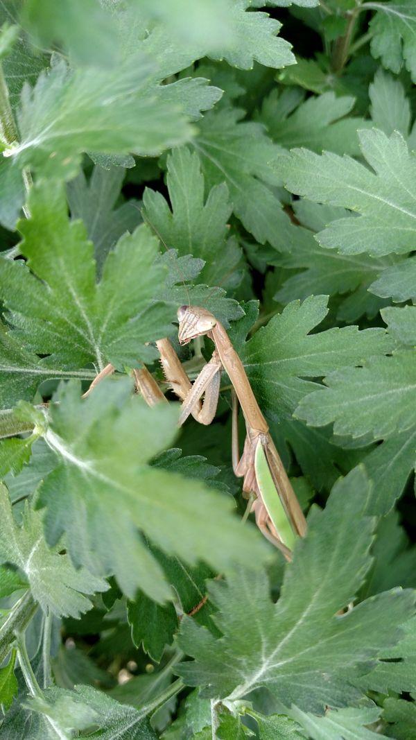 Praying Mantis  thumbnail
