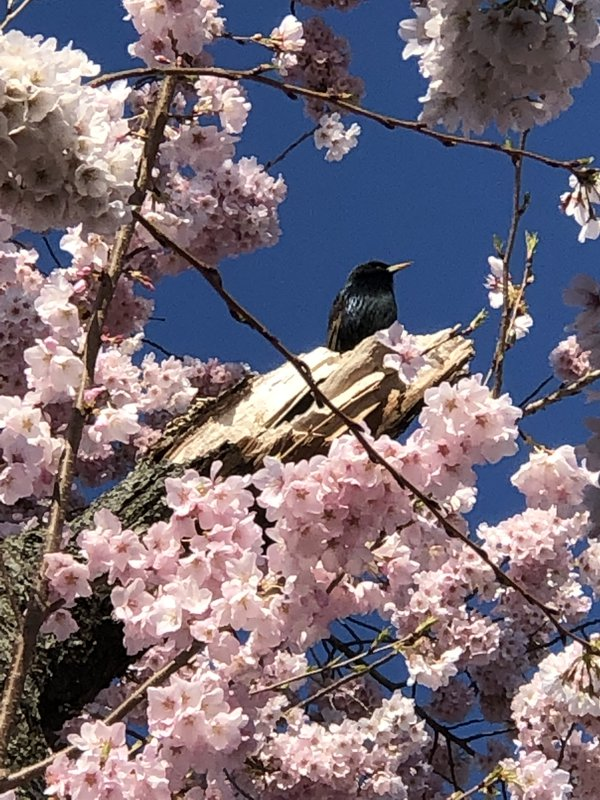 Bird singing among the Cherry Blossoms thumbnail