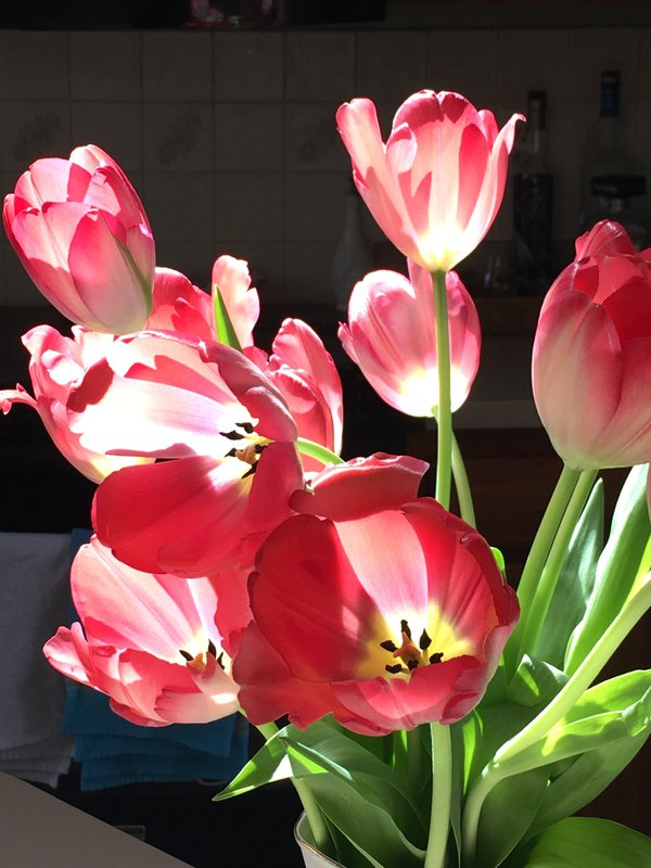 Late afternoon tulips thumbnail