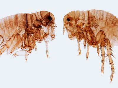Yersinia pestis, the bacteria that cause plague, survives on fleas that live on rodents, like rats and rabbits.