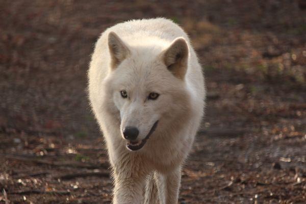 Wolf Sanctuary thumbnail