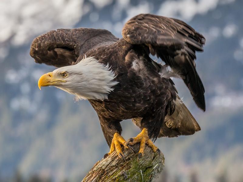 Bald_Eagle_(Haliaeetus_leucocephalus)_in_Kachemak_Bay,_Alaska.jpg