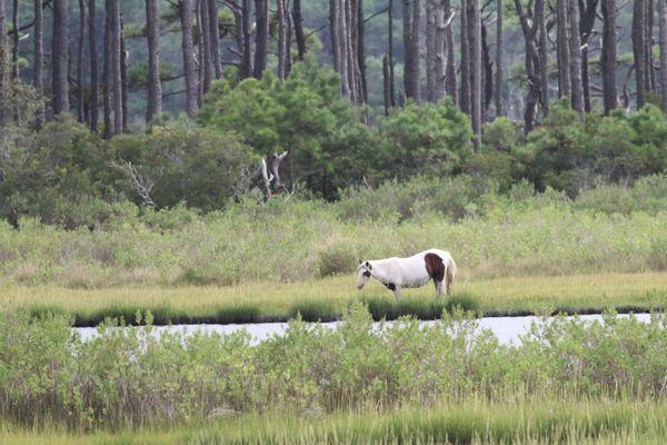 hincoteague Pony at Assateague Island National Seashore thumbnail
