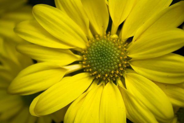 Yellow Daisy thumbnail