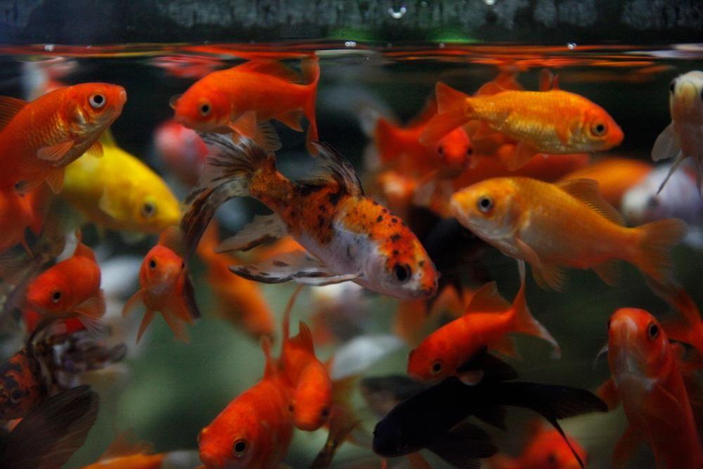 Goldfish Main