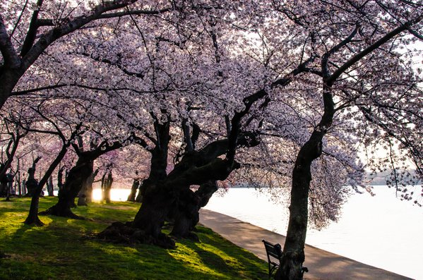 Early morning cherry blossoms thumbnail